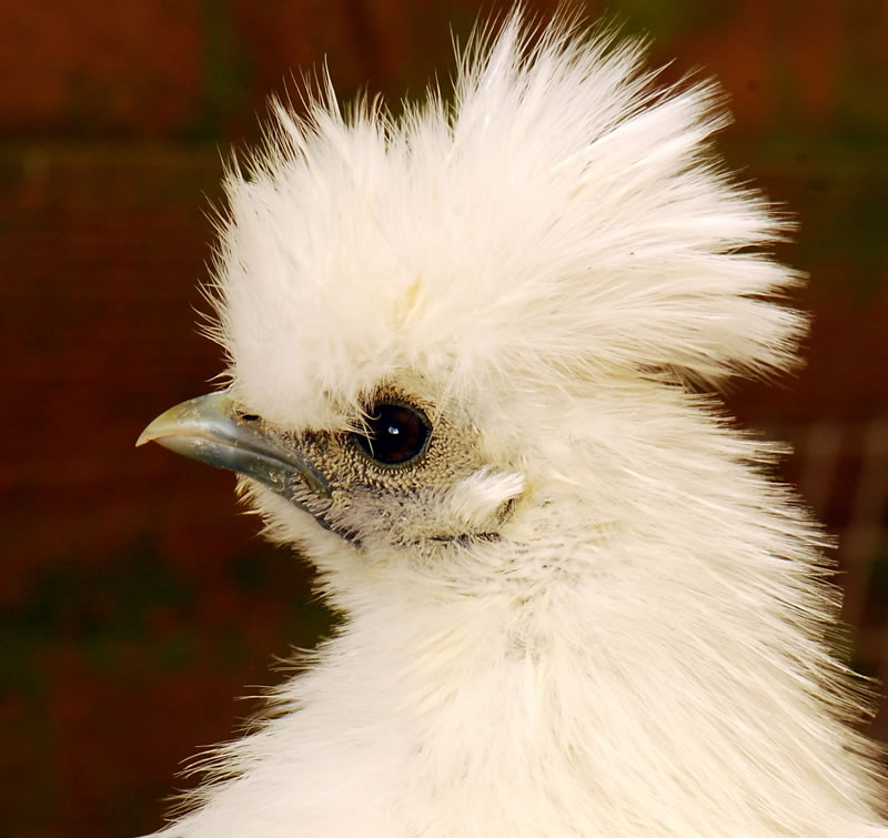 Silkie Chick