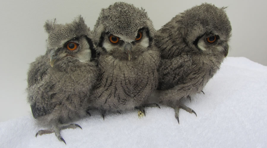Owlets 3 in a row